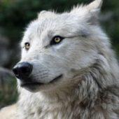 犬の祖先は狼